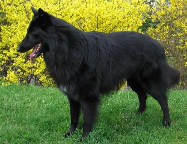 Бельгийская овчарка грюнендаль